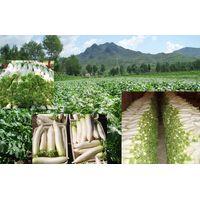 Turnips, White Radish