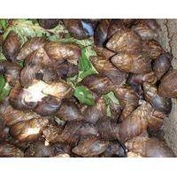 Live Giant African Snails( flesh, shell, oil)