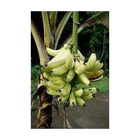 Plantain banana thumbnail image