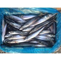 Frozen Pacific Mackerel Chub Mackerel