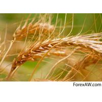 Soft Milling Wheat 11.5 and 12.5% Pro thumbnail image