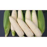 NON GMO WHITE CORN