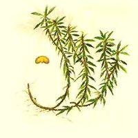 Huperzia Serrata Extract (HUPERZINE-A)