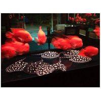 Black diamond stingray fish, 24K arowana fish , Asian red arowana fish, Super Red Arowana, Black Dia