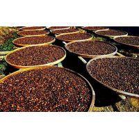 Organic camellia seeds, tea seeds