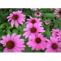 Echinacea purpurea, ext.