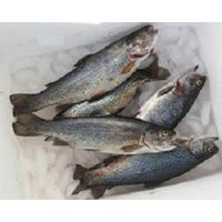 Frozen Whole Rainbow Trout Fish