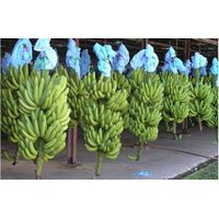 Fresh Cavendish Banana / FRESH GREEN BANANA