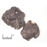 Polyporus umbellatus thumbnail image