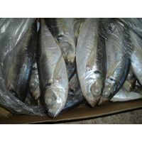 Frozen Whole Round Horse Mackerel