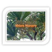 Trachycarpus Fortunei Seeds Cold Hardy Palm Seeds