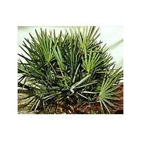 Saw palmetto extract thumbnail image