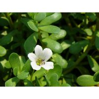 Organic Bacopa Extract
