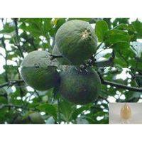 Citrus Bioflavonoid 50%~95% thumbnail image