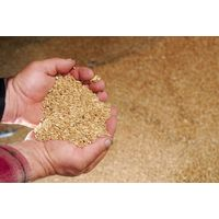Durum Wheat