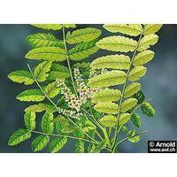 Boswellia serrata(Boswellic Acid 70%) Extract