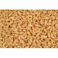 Wheat durum and soft