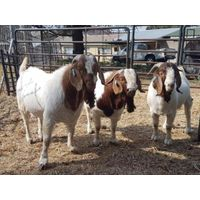 Pure Breed Boer Goat / 100% Full Blood Boer Goats, / Live Sheep, Cattle, Lambs and Alive Cows