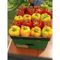 sweet pepper suppliers egypt , Egyptian sweet pepper ,