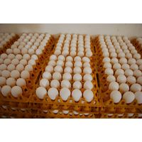 Fertile Hatching Chicken Egg/Fresh Chicken Table Eggs/Quail Eggs