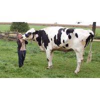 Live Friesian Holstein Cow.Pregnant Holstein Cow