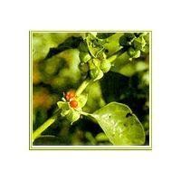 Herbs - salacia, Moringa, Guvva - Pappaya leaves thumbnail image