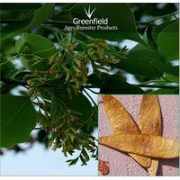 Sissoo Forestry Tree seeds ( Dalbergia, sissoo ) thumbnail image