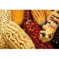 Dried grains. thumbnail image