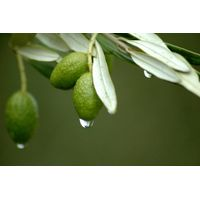Olive Leaf Extract thumbnail image