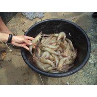 Fresh Shrimp thumbnail image