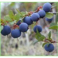 Bilberry Extract 25% Anthocyanidins UV(Chinese Standard,European Standard)