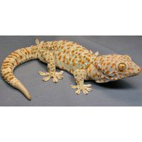 Gecko Tokay Tokek For Sale