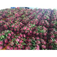 Vietnam Dragon Fruit For Export