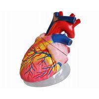 Human Heart Model 5 times