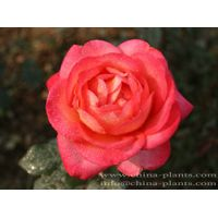 where to find roses for sale online?