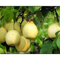 Fresh pear, Ya pear, Su pear, Golden Pear