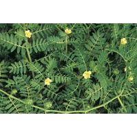 tribulus terrestris P.E.,saponins,PROTODIOSCIN20%--90%