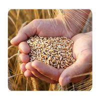 Top Quality Wholesale Organic Wheat Grain for Sale thumbnail image