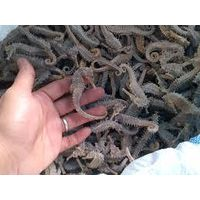 BEST QUALITY DRIED SEA HORSE ON SALE