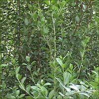 Herbal Heena With Natural Herbs
