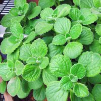 Indian Country Borage, Coleus amboinicus leaf Powder