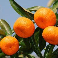 Tangerine(LuGan)