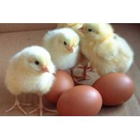 Broiler Hatching Eggs Cobb 500 and Ross 308 thumbnail image