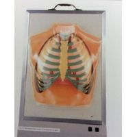 KF 20502 Demonstration Model of Respiratory System