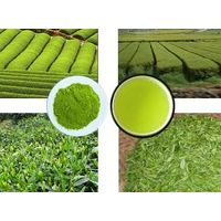 Green Tea Ectract thumbnail image