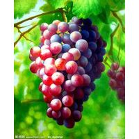 Supply antioxidant product of Grape Seed Extract