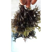 chondrus canaliculatus/crispus seaweed dried