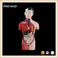 42cm female torso model torso anatomy model thumbnail image