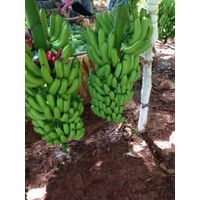 HIGH QUALITY CANVENDISH BANANA FROM VIET NAM