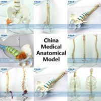 wholesale human anatomy spine medical model